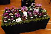 Pleione George Fuller Stand